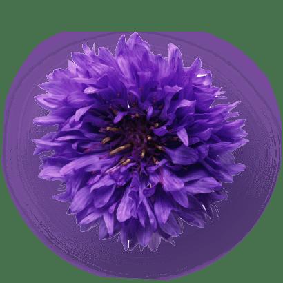 Cornflower Extract